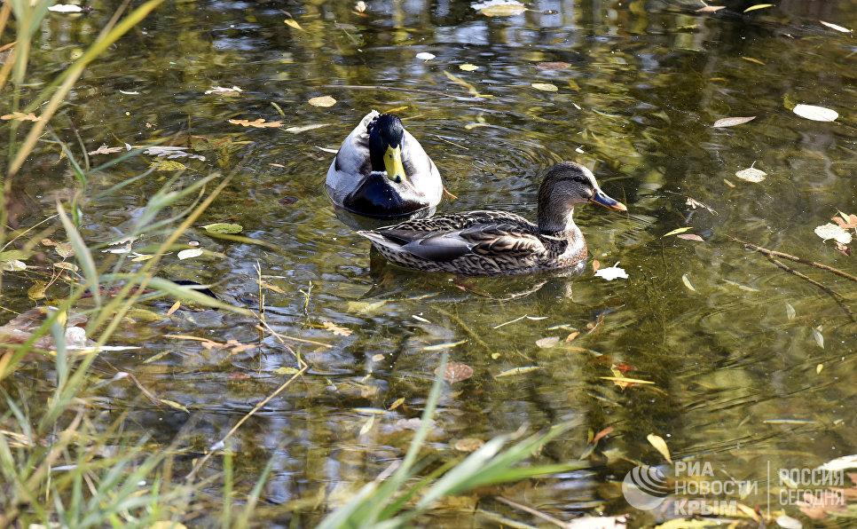 Утки в пруду в парке им. Гагарина в Симферополе