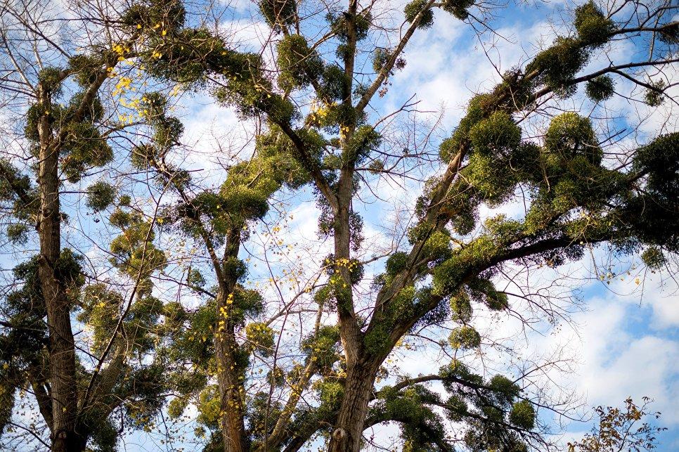 Дерево в Симферополе