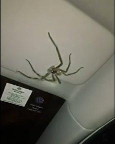Скриншот на видео в соцсети YouTube: Гигансткий волосатый паук цепляется за козырек машины девушки