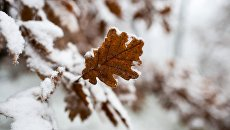 Заснеженные листья дуба в поселке Научный в Крыму