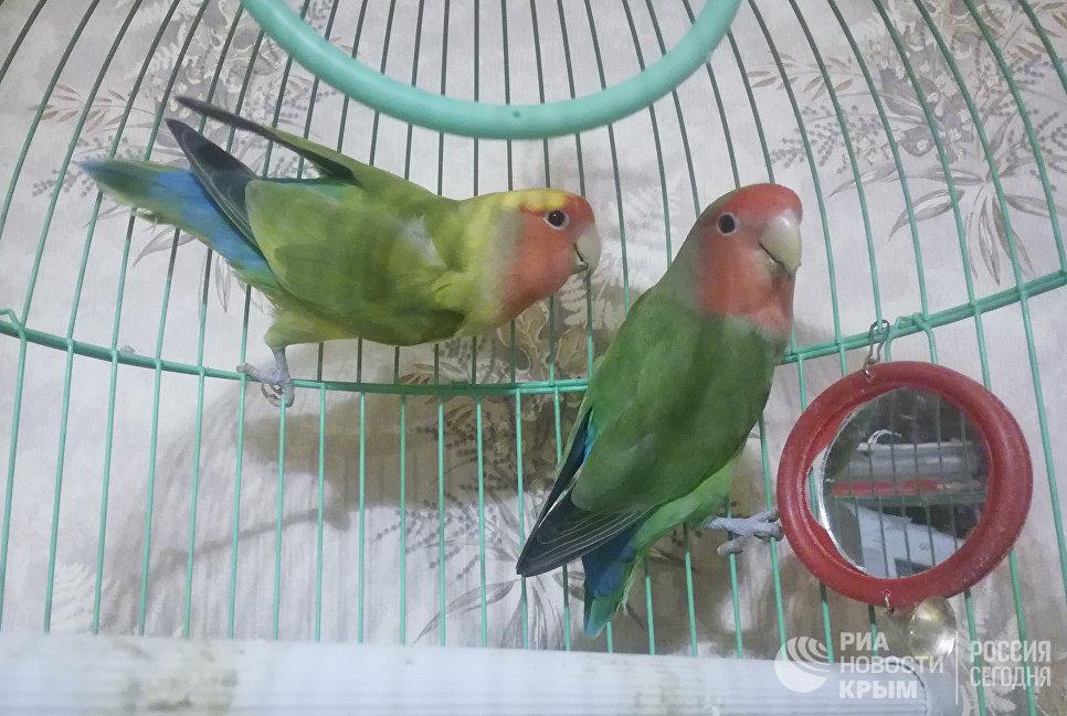 Попугаи-неразлучники Марго и Гоша. Домашнее животное сотрудников регионального подразделения МИА Россия сегодня в Симферополе