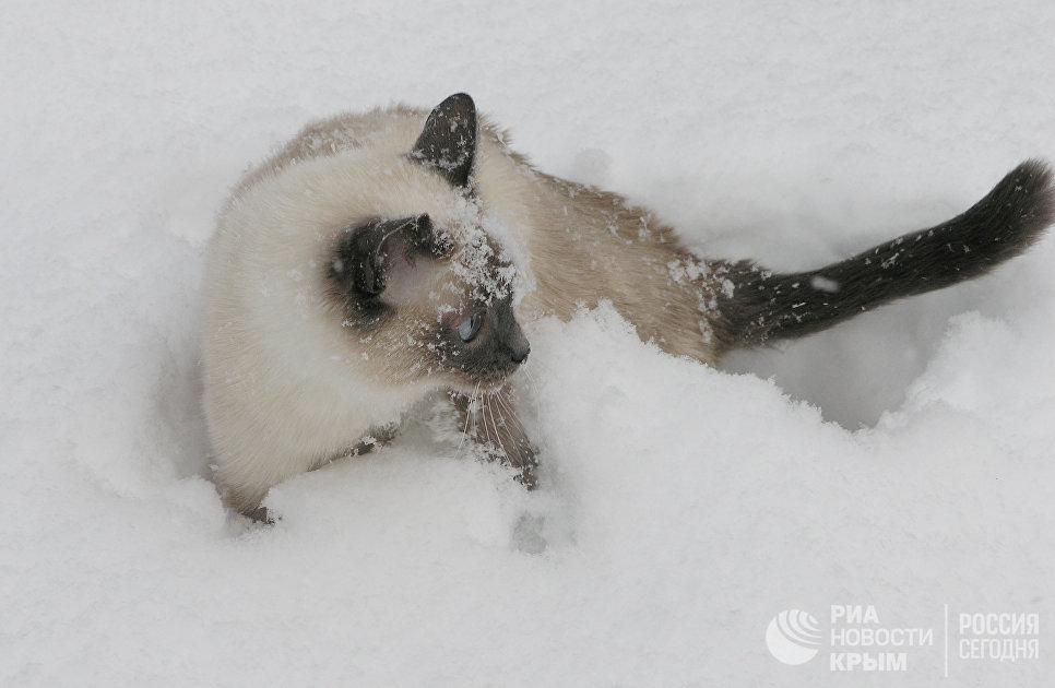 Балинезийская кошка Даша. Домашнее животное сотрудников регионального подразделения МИА Россия сегодня в Симферополе