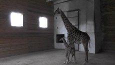 Родившегося накануне Нового года детеныша жирафа показали в парке Тайган