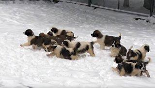 Служебные щенки в видеопоздравлении с Новым годом от Минобороны РФ