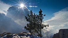 Сосна на горе Ай-Петри в Крыму