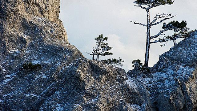 Сосны на горе Ай-Петри в Крыму