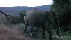 Слониха отбила своего детеныша у льва
