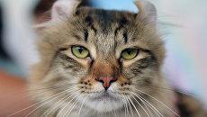 Кошка породы американский керл