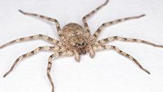 Самое быстрое и ловкое существо Земли - паук-краб