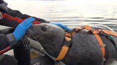Тюлени для армии: как в Мурманске готовят необычных бойцов