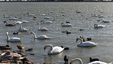 Лебеди на озере Сасык-Сиваш под Евпаторией.