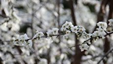 Снег на цветущих деревьях в Симферополе. 22 марта 2018