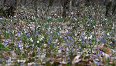 Цветение первоцветов в Крыму