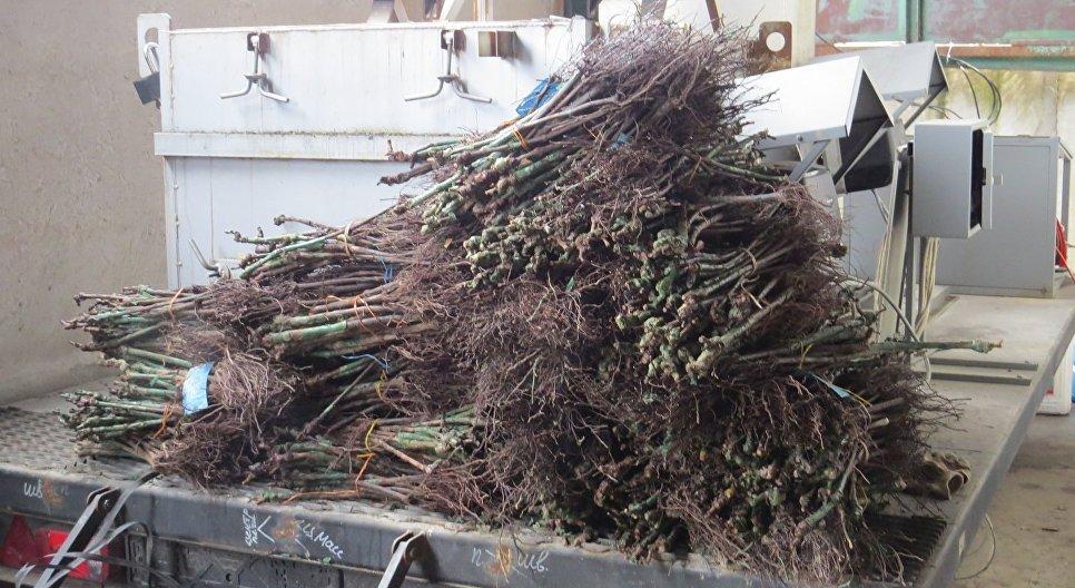 Работники Россельхознадзора итаможни сожгли вКрыму 160 тыс. итальянских саженцев винограда