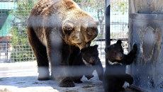 Видео новорожденной тройни медвежат в сафари-парке Тайган в Крыму
