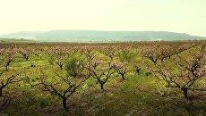 Видео цветущих садов персиков в Крыму