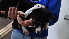 Видео вручения щенка Алисы гендиректору аэропорта Симферополь