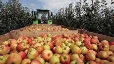 Уборка урожая яблок в Симферополе