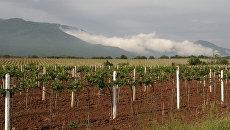 Молодые виноградники в окрестностях Алушты